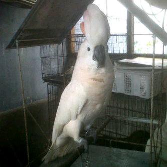Foto: Jual Burung Kakak Tua, Kaka Tua Jambul Kuning, Molucan, Kakatua Rajah